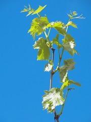 fresh vine (Riex) Tags: vines leaves leaf feuilles vigne green vert blue sky ciel bleu nature z990 schneiderkreuznach variogon kodakeasysharemax california californie