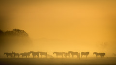 To the Left or Right? (Esther5h (On and Off)) Tags: 2017 april nevel mist foggy haze horse horses paard paarden sunrise zonsopkomst canon eos70d