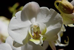 Birthday wishes to a friend! (ineedathis,The older I get the more fun I have....) Tags: orchid phalaenopsis dedication happybirthdayashley friend exotic tropical beauty garden flower nature autumn yellow nikond750 macro blossom plant