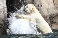 Having A Ball  2 (Ger Bosma) Tags: 2mg217187 ijsbeer ursusmaritimus polarbear eisbär polarbär oursblanc ourspolaire osopolar osoblanco orsopolare orsobianco белыймедведь animal playing ball water spray dunking slamdunk