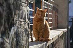 Street cat (elka.) Tags: cat kot katze chat cats gata greece gatta neko nikon katt katte gato gatto animal γάτα кошка котка feline кошки
