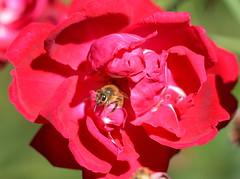 Red Rose Pot of Gold (npbiffar) Tags: flower red rose plant garden outdoor bee npbiffar nikon d7100 macro 150mm depth field