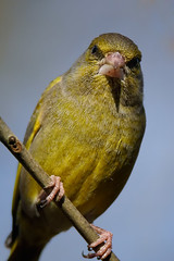 World's grumpiest Greenfinch (sc_pingu) Tags: grumpy greenfinch
