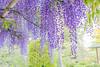 DSC_1686 (sayo-tsu) Tags: 藤 wisteria 牛島のフジ 春日部市 埼玉県 kasukabe saitama 特別天然記念物