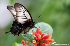 Butterfly (PAPERCUTSKIN) Tags: butterfly insect wings leaf animal vlindersaandevliet vlinders aan de vliet white black