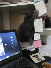 ** La coquine prise sur le fait... ** (Impatience_1 (peu...ou moins présente...)) Tags: bella chat chatte félin feline animaldecompagnie pet bêtesdedanielle animal bête minou ordinateur laptop bureau desk m impatience