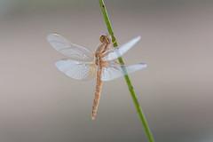 Fairy (jrosvic) Tags: dragonfly libelula odonata entomology entomologia odonato anisoptero anisoptera dragonflies crocothemiserythraea elalgar cartagena murcia spain freehand closeup