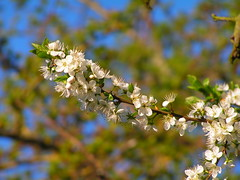 Blossom (cycle.nut66) Tags: canal grand union aylesbury arm towpath green trees sunlight still blossom white flowers leaves konica minolta dimage z2