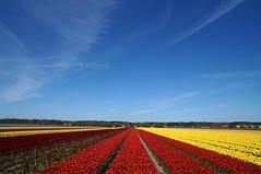 homeland.. (leuntje) Tags: tulips tulpen tulipa bollenstreek noordwijkerhout netherlands holland spring bulbfields zuidholland