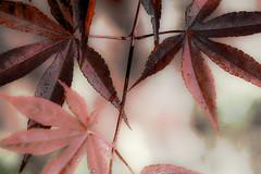 Arce rojo (seguicollar) Tags: virginiaseguí rojo red arce arcerojo árbol rama leaf leaves planta patrón nervaciones vegetal vegetación nikond7200