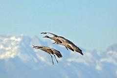 Landing Gear Down (DocNordic) Tags: cranes sandhillcranes montevistanationalwildliferefuge refuge colorado migration sedge spring
