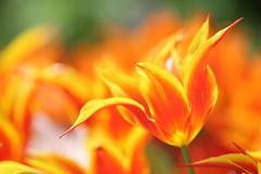 Tulips (Teruhide Tomori) Tags: flower garden spring japan kyoto kyotobotanicalgarden tulip チューリップ 京都 日本 春 花 京都府立植物園