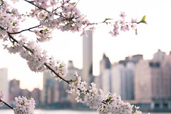 Cherry Blossoms (Elyssa Drivas) Tags: cherryblossoms cherryblossomtree tree pink nyc newyork newyorkcity rooseveltisland spring pretty nature naturephotography beauty beautiful sky eastriver eastside manhattan midtown