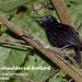 White-shouldered Antbird, Myrmeciza melanoceps