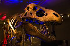 T-rex (2) (Daisy Sparkles old account) Tags: diniosaur museum trex lights bluelight redlight hancockmuseum newcastleupontyne
