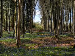 Bluebells in the West Wood, Winchester, 2017 (neilalderney123) Tags: ©2017neilhoward winchester flowers bluebells wood landscape hampshiteestwood olympus