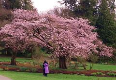 Joyous Flowering (FernShade) Tags: vancouver britishcolumbia westcoast pacificnorthwest cherryblossom sakura pinkcherryblossomtreesurbannature springtime scenery scenic