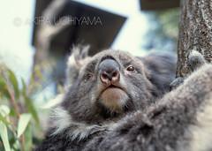 ZOO0075 (Akira Uchiyama) Tags: 動物たちのいろいろ 鼻 鼻コアラ