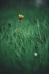 like a rocket (christian mu) Tags: flowers nature bokeh spring botanicalgarden botanischergarten münster muenster germany christianmu sonya7ii sony planar zeiss planar5014 5014 50mm schlossgarten