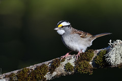 Bruant à gorge blanche / White-throated sparrow (Sylvain Prince) Tags: zonotrichiaalbicollis