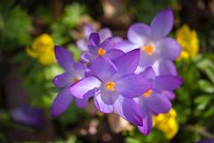 IMG_79 (schaffnerjoggl) Tags: frühling blüten bunt farben hermannshof schausichtungsgarten weinheim deutschland krokus