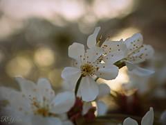 macro cherry blossom in sunny bokeh (Ola 竜) Tags: sakura macro cherryblossom whiteflowers blossom spring dof bokeh focus fz200 closeup petals stamens pistils delicate soft lovely flowers bloomingtree bloom warmlight
