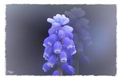 Armenische Traubenhyazinthe - Dreaming (Tanja-Milfoil) Tags: violett frühling picture foto milfoil frühlingsblumen blumen tanja muscadinearmeniacum spargelgewächs armenische traubenhyazinthe