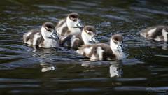 Swimming (Paula Darwinkel) Tags: egyptiangoose goose goslings ducklings cute waterbird bird nature wildlife animals