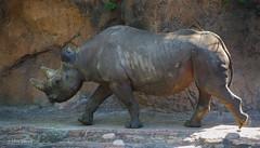 Rushing Rhino (ddindy) Tags: kilimanjarosafaris rhinoceros blackrhino disneysanimalkingdom waltdisneyworld disneyworld disney orlando florida