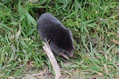 CSC_0328 (nightheron22) Tags: mole underground black velvet tunnels hills tunnel