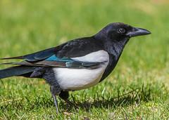 Black-billed Magpie (Pica hudsonia) (NigelJE) Tags: blackbilledmagpie magpie picahudsonia pica nigelje corvidae crow crowfamily corvid americanmagpie lakecountry bird animal
