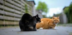 Help me! (Gert Brink) Tags: fujifilm fuji fujifeed xt2 groningen kat kater netherlands gert brink think