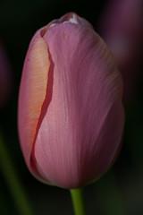 _7008181.jpg (fdc!) Tags: factueldescriptif floral flore nature naturemorte plante plantes termessurlaphotographie végétal végétalplantes végétation fdc2017 fleur
