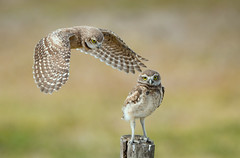 Burrowing Owlets - Not sure how to land yet. (dubrick321) Tags: birds burrowingowl burrowingowls owls raptor raptors babies babybirds athenecunicularia