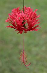 Hibiscus schizopetalus (Uhlenhorst) Tags: 2016 indonesia indonesien plants pflanzen flowers blumen blossoms blüten travel reisen