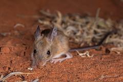 Spinifex Hopping Mouse (R. Francis) Tags: ryanfrancis ryanfrancisphotography southaustralia sa roxbydowns aridrecovery aridrecoveryreserve hopping spinifexhoppingmouse notomysalexis