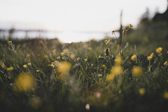 (DrowsyPotato) Tags: prime bokeh grass flowers summer 50l 50mm f12 12 a7rii a7r2