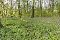 Bluebells Portglenone-2 (RattySV) Tags: nikon nikond7200 sigma1020mmf456 lee09softndgrad leelandscapepolariser bluebells portglenone forest flowers trees coantrim countyantrim northernireland