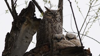 Great Horned Owls in the Spring Snow 2