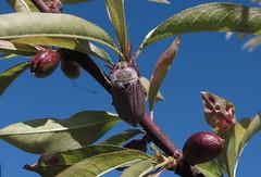 I'm back - 20 IV 2017 (el.gritche) Tags: melolonthamelolontha scarabaeidae coleoptera france 40 garden male