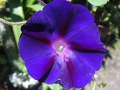 DSC02988a (alfredoeloisa) Tags: plantae magnoliophyta magnoliopsida solanales convolvulaceae ipomoea ipomoeapurpurea