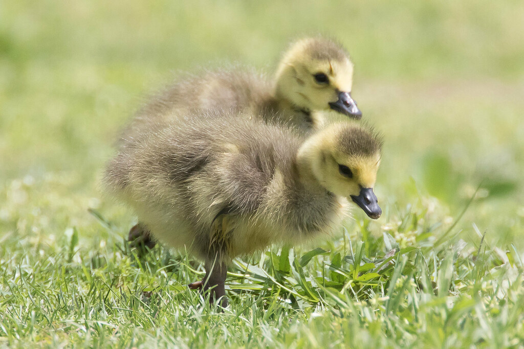 Nature vs Nurture: How do baby birds learn how to fly ...
