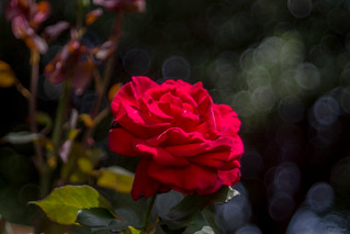 Lincoln Rose - circles bokeh