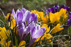 Crocus (cyrille godard) Tags: macro proxy printemps pomphoto spring