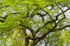 Old Twisting Knarly Tree (Orbmiser) Tags: 55200vr branches d90 nikon oregon portland spring tree twisting