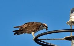DSC_0004 (RUMTIME) Tags: osprey coochiemudlo coochie redlands brisbane australia birds bird feathers