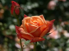 rose (Lyubov) Tags: flower rose fantasticflower