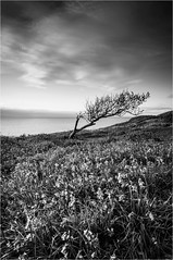 Wind Swept (Adam Evans (ffaffman)) Tags: sunset sea blackandwhite tree bluebells wales clouds mono coast spring nikon ceredigion d300