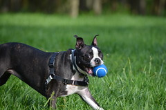 Dogs @IMA, 09-30-2012 079 (Hazel the Boston Terrier) Tags: boston terrier hazel indianapolismuseumofart