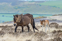 I am a big fan of Exmoors... (devonteg) Tags: apple fan nikon mare heather may grasses colt hawthorn exmoor gorse odc foal 2013 exmoorponies 70300mm4556vr d7000 ourdailychallenge livingwildandfreeonthemoor